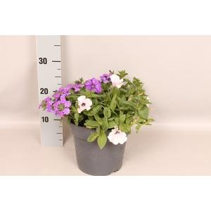 Perkplanten 19 cm Mix petunia verbena petunia