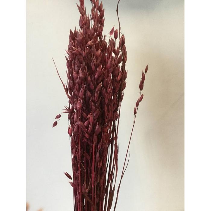 <h4>DRIED FLOWERS - AVENA BORDEAUX</h4>