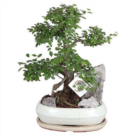 <h4>Bonsai A1260001 Gemengd Keramiek</h4>