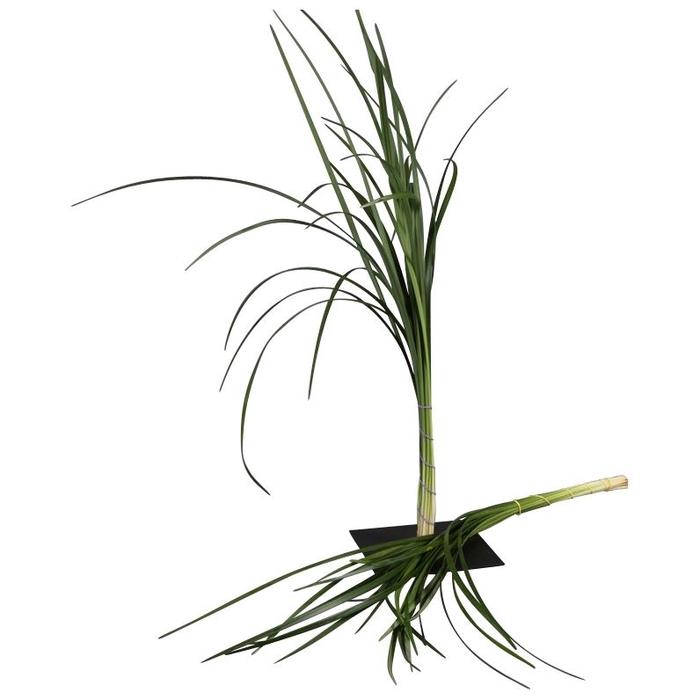 <h4>Lilygrass</h4>
