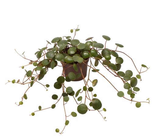 <h4>Peperomia Pepperspot 6Ø 12cm</h4>