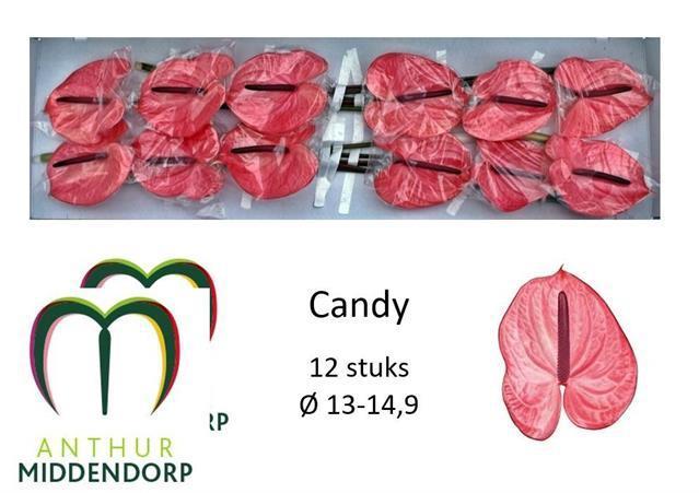 <h4>Anthurium Candy</h4>
