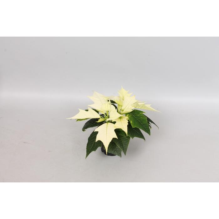 <h4>Poinsettia 6  cm Alaska White 2 / 4 kop</h4>