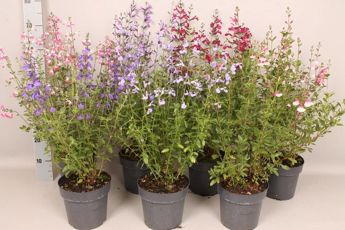 vaste planten 19 cm  Salvia Diverse