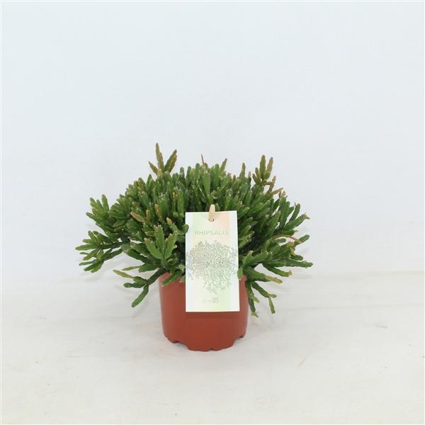 <h4>Rhipsalis ewaldiana</h4>