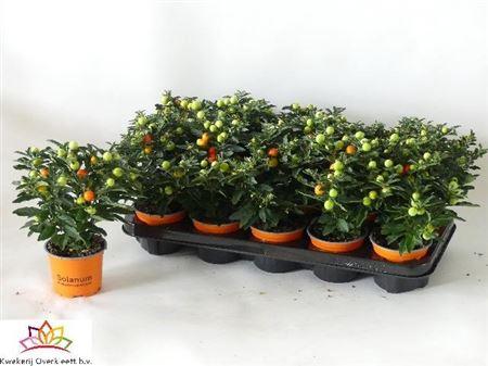 <h4>Solanum Pseudocapsic</h4>