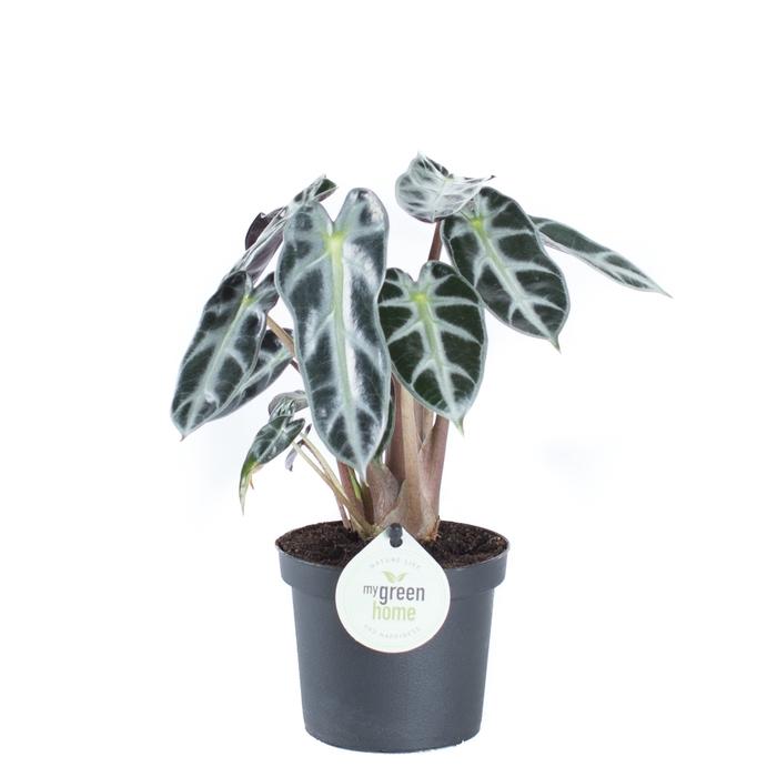 <h4>Alocasia Amazonica Bambino 9Ø 25cm</h4>