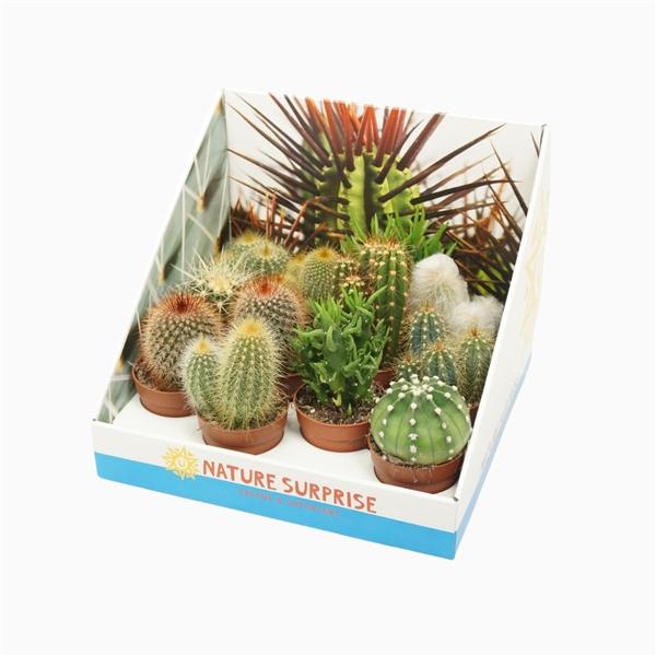 <h4>Cactus mix 7 cm. in presentatiedoos</h4>