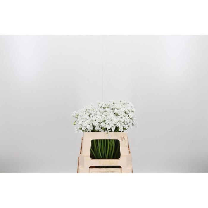 <h4>Allium Neopolitanum</h4>