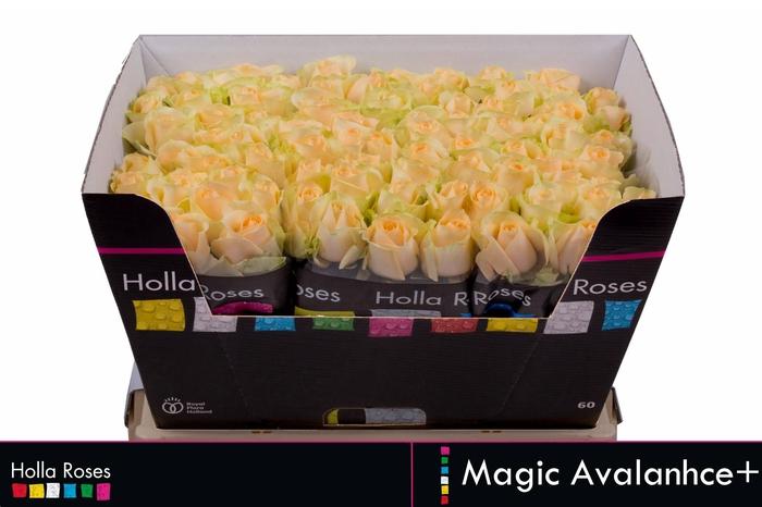<h4>Rosa grootbloemig Magic Avalanche+</h4>