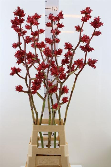 <h4>Hohenbergia Stellata 110cm</h4>