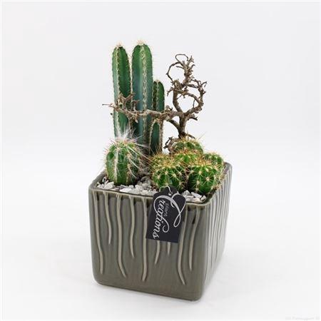 <h4>Ctcr-2106 Cactus Essentials</h4>