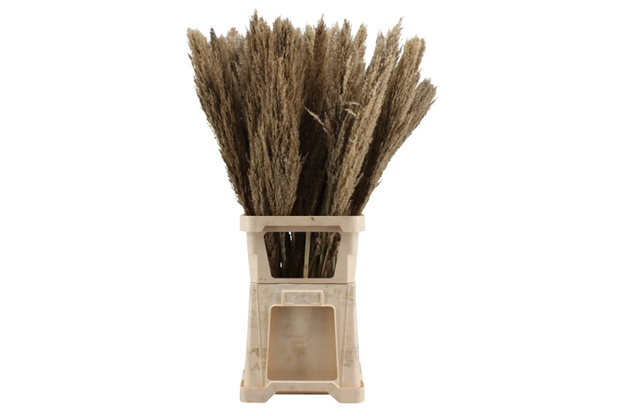 <h4>Dried Cortaderia Naturel ( 8 Stems )</h4>