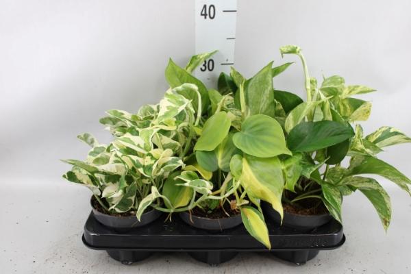 <h4>Epipremnum pinnatum   ...mix</h4>