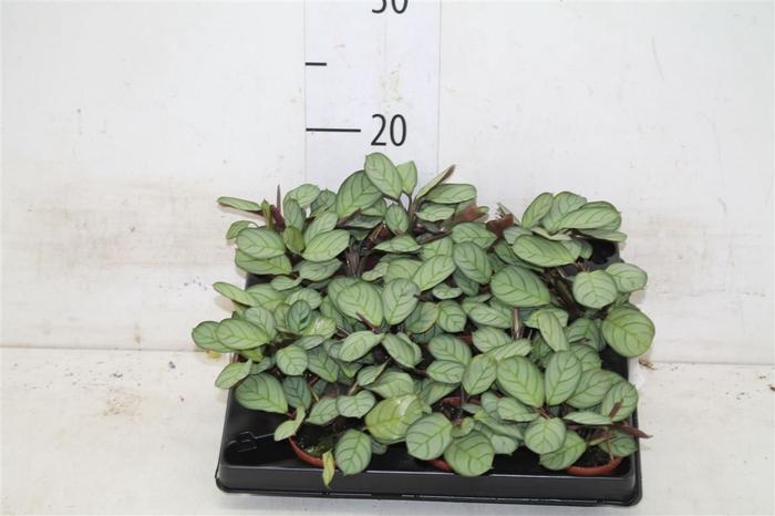 <h4>Maranta L. Amabilis Mint</h4>