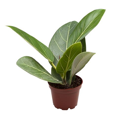 <h4>Ficus Benghalensis Audrey 6Ø 15cm</h4>