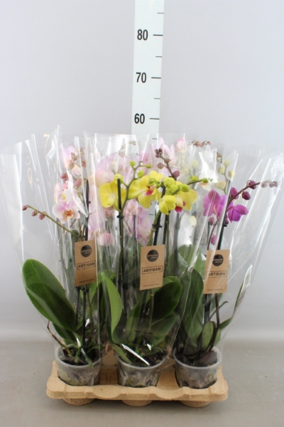 <h4>Phalaenopsis   ...mix  5</h4>