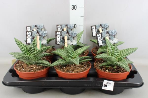 <h4>Aloe variegata 'Magic'</h4>