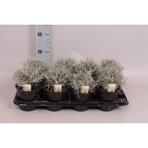 Kruiden I Helichrysum Italicum  (kerrieplant)