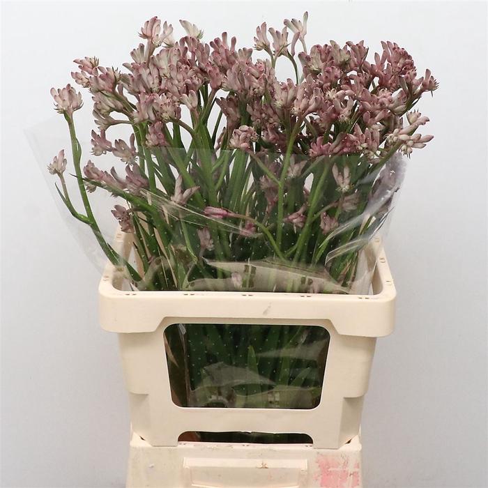 <h4>Anigoz Bush Diamond Grey Pink</h4>
