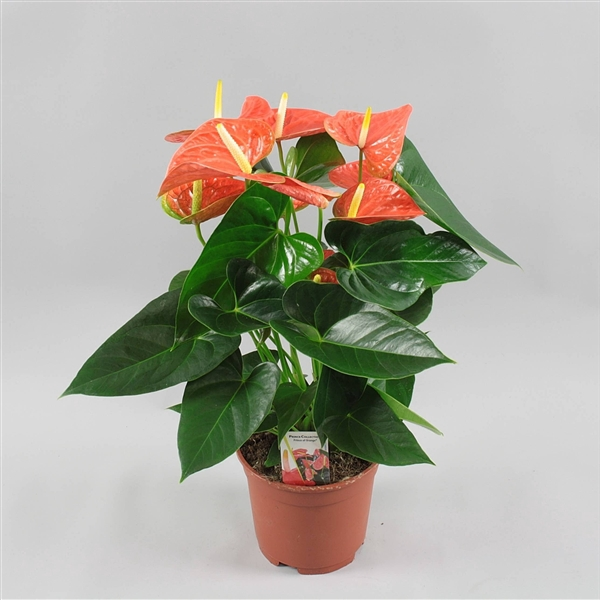 <h4>Anthurium Prince of Orange</h4>