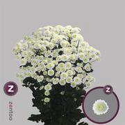 <h4>Chrysanthemum Stallion White</h4>