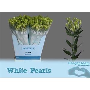 Alst Fl Whi Pearls