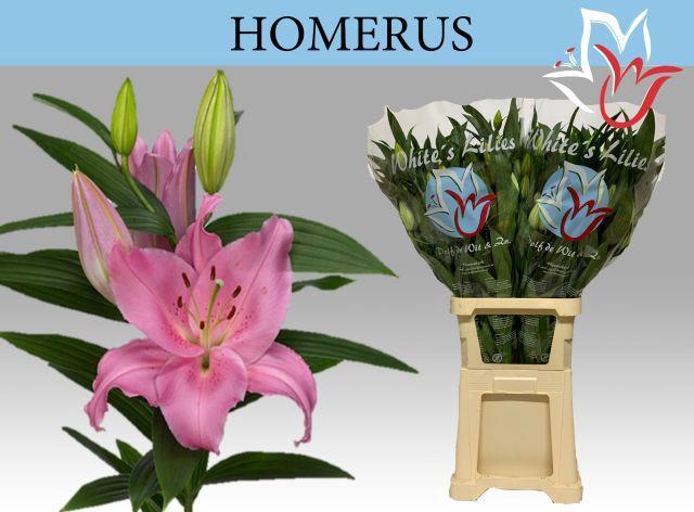 <h4>LI OR HOMERUS</h4>