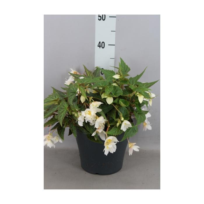 <h4>Begonia boliv. 'Sparkler Blush Whi'</h4>