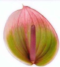 <h4>Anthurium Peruzzi Green/Pink Large</h4>