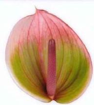 <h4>Anthurium Peruzzi Green/Pink Small</h4>