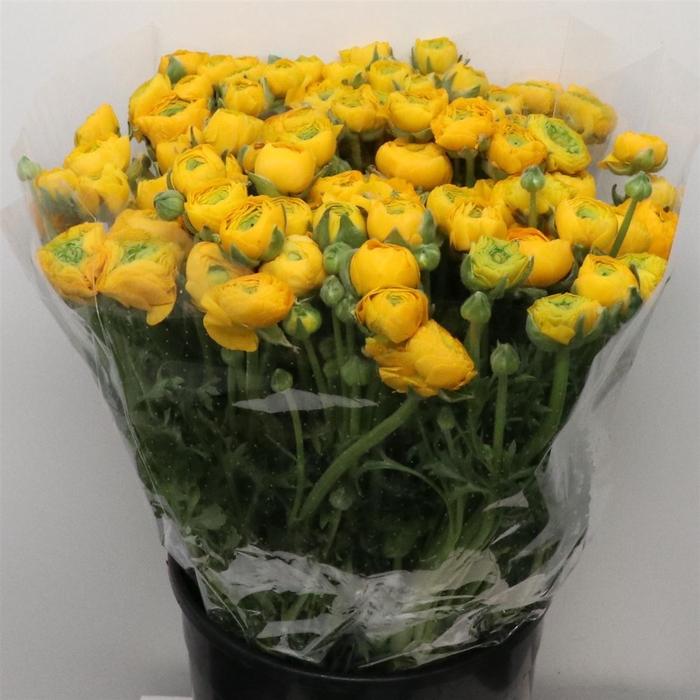 <h4>Ran El Yellow Super</h4>