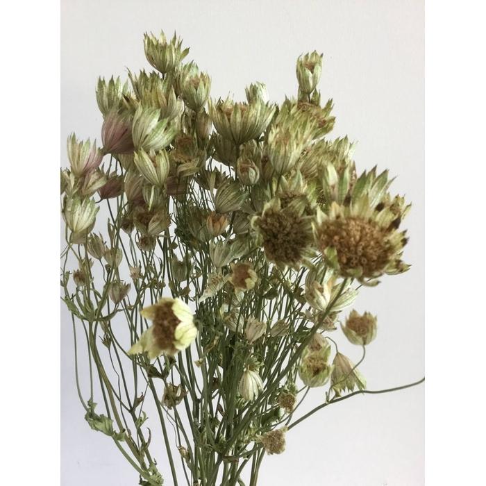 <h4>DRIED FLOWERS - ASTRANTIA WHITE 20PCS</h4>