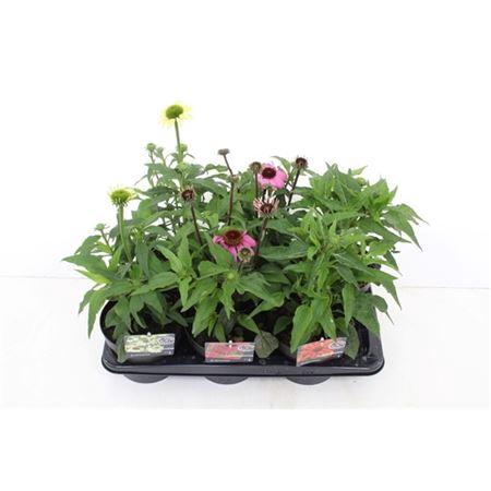 <h4>Echinacea Purpurea Gemengd</h4>