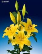 <h4>Lilium oriental Eldoret</h4>