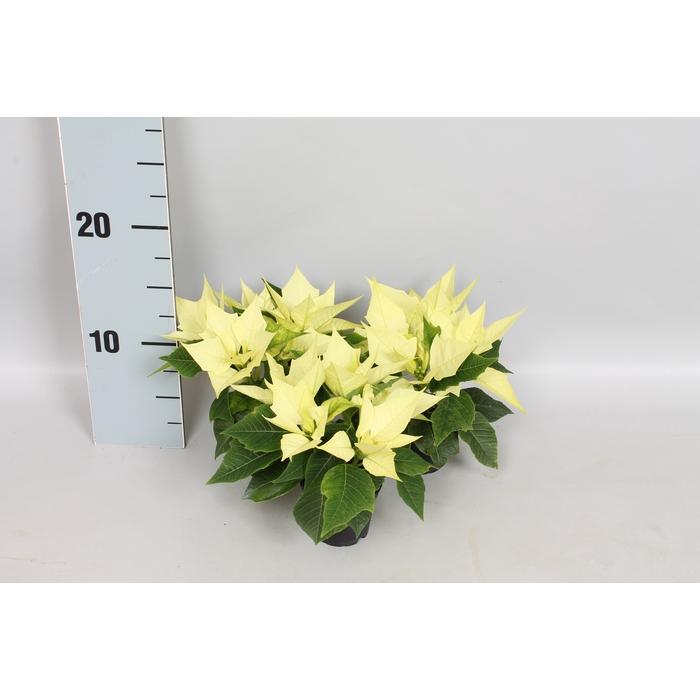 <h4>Poinsettia 6  cm Candy Mint 2/4 koppen</h4>