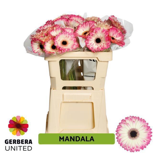 <h4>GE GR MANDALA</h4>