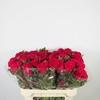 Celosia cristata roja