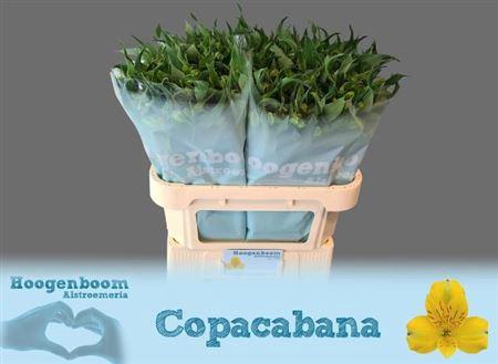 <h4>Alstr Copacobana Geel</h4>