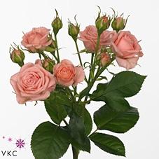 Rose Sp. Odilia