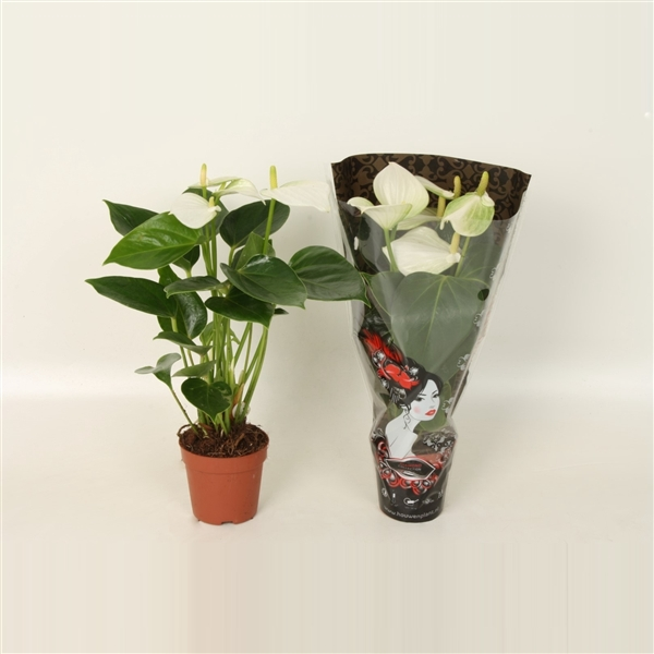 <h4>Anthurium baby white - diamond</h4>