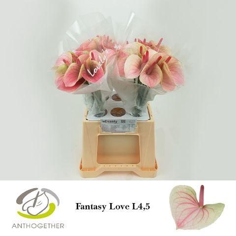 <h4>Anthurium andr. 'Fantasy Love'</h4>