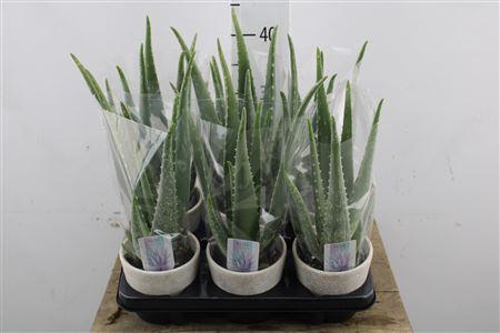 <h4>Aloe Vera In Ceramic</h4>