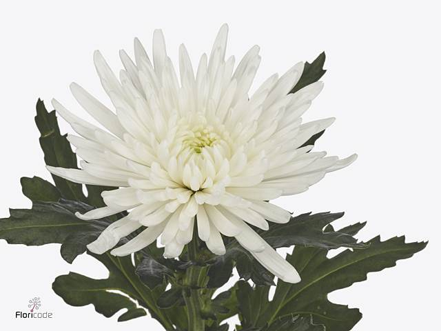 <h4>Chrysant deco Topspin</h4>
