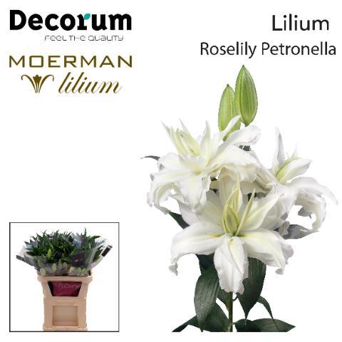 <h4>Lilium (Oriental Grp) dubbel Roselily Petronella</h4>