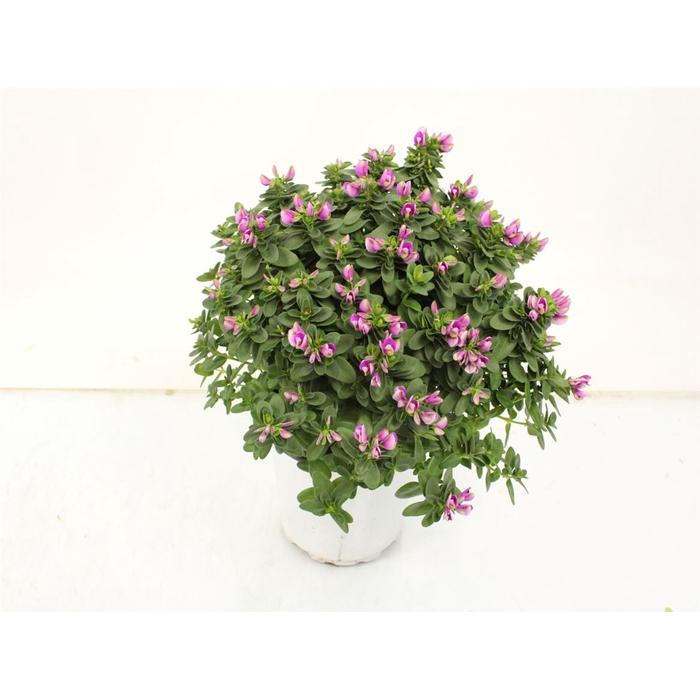 <h4>Polygala Baby Pink Bush</h4>