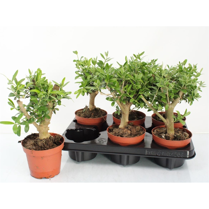 <h4>Olea Europaea Thick Trunk</h4>
