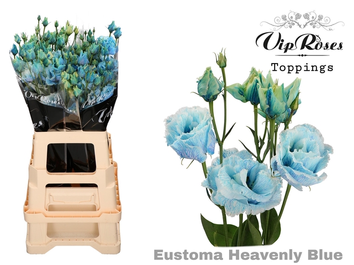 <h4>Vip Eust G Alissa Heavenly Blue</h4>