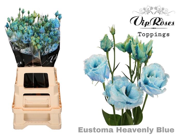 <h4>EUST G ALISSA HEAVENLY BLUE</h4>