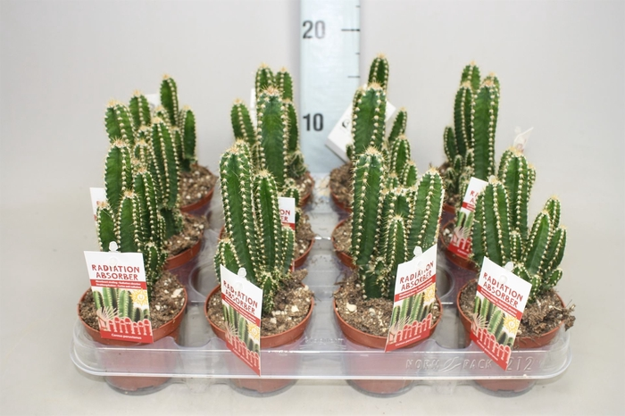 <h4>Cereus per. 'Florida'</h4>